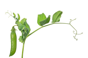 isolated green pea on stem