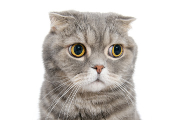 Portrait of breed Scottish fold cat close-up..