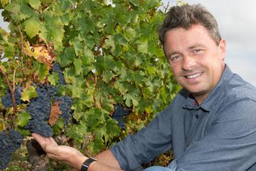 Winemaker Man Harvesting Grapes in the Vineyard