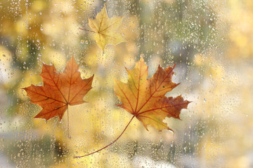 golden autumn/ Maple leaves stuck to the window of the wet rain drops