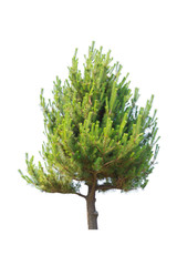 Pine tree for decor isolated on white background.