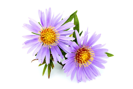 Purple asters close-up.
