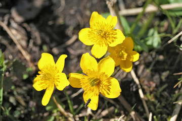 Caltha palustris (marsh-marigold or kingcup) flowers