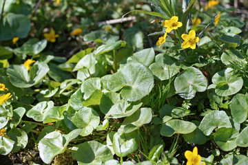 Caltha palustris (marsh-marigold or kingcup) flowers