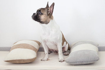 French Bulldog puppy  sitting between the pillows