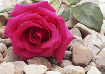 Pink rose lying on the stones.