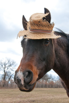 Cute little Arabian horse wearing an old, worn out straw hat in a comical image in winter pasture