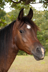 Beautiful dark bay Arabian horse with a star and a snip with a curious expression
