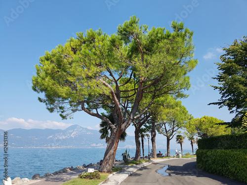 pinienbaum pinie pinus pinea stockfotos und lizenzfreie bilder auf bild 124251316. Black Bedroom Furniture Sets. Home Design Ideas