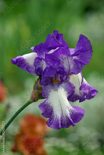 Iris bleu et blanc au printemps jardin des plantes paris stock photo and royalty free images - Iris plantes et jardin ...