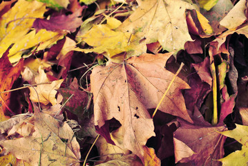 Autumn dead dry leaves background. Fall in park. Abstract autumn background. Selective focus
