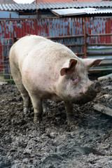 Great fattened pig the mud on the farm