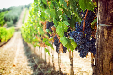 Fotobehang Wijngaard Tuscan vineyard with red grapes.