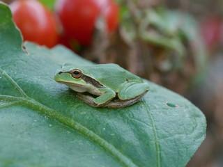 Green Frog on the Leaf