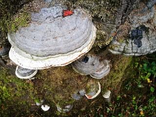 Blick auf die graue Oberseite eines echten Zunderschwamm an einem alten Baumstamm  im Weberpark in Oerlinghausen im Teutoburger Wald