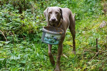 Hund trägt Eimer