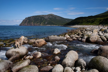 The creek flows into the sea and a dog on a rock. Koni Peninsula, Magadan region, The Sea of Okhotsk, Russia.