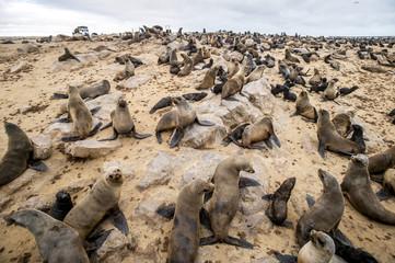Cape Fur Seals (pinnipedia) on the Seal reserve of the Skeleton Coast; Cape Cross, Namibia
