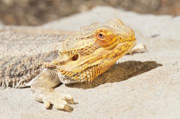 Bearded Dragon (Amphibolurus Barbatus); California, United States Of America