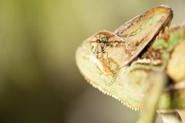 Veiled Chameleon (Chamaeleo Calyptratus); California, United States Of America