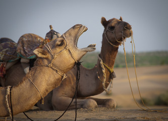 Two camels sitting on the ground;Jaisalmer india