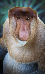 Proboscis monkey (nasalis larvatus);Borneo
