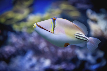 Picasso triggerfish;Israel