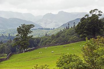 Sheep grazing on a hillside;England
