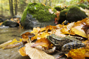 Green Frog (Rana Clamitans Melanota) Camouflaged In The Autumn Coloured Leaves; Grenville, Quebec, Canada