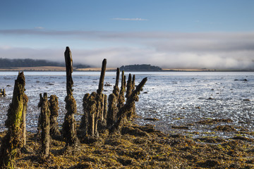 Old tree trunks covered in seaweed at the water's edge at low tide;Inverness scotland