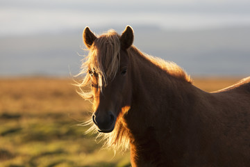 Icelandic horse at sunset with long mane blowing in the wind; Iceland