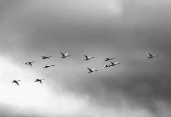 Trumpeter swans (Cygnus buccinator) fly in unison as they winter on Vancouver Island; Duncan, British Columbia, Canada