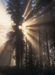 Sunbeams through trees in forest, USA
