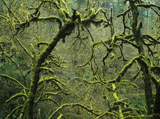 Mossy trees leafless in the winter; Allegany, Oregon, United States of America
