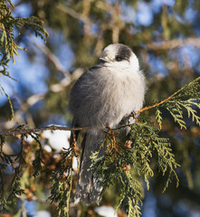 Grey jay perching on cedar tree, Canada