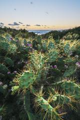 Wild cactus; Bolonia, Cadiz, Andalusia, Spain
