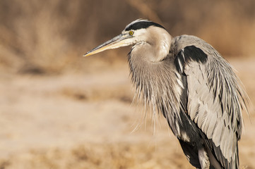A Great blue heron (Ardea herodias) rests on a winter morning in Bosque del Apache National Wildlife Refuge; New Mexico, United States of America