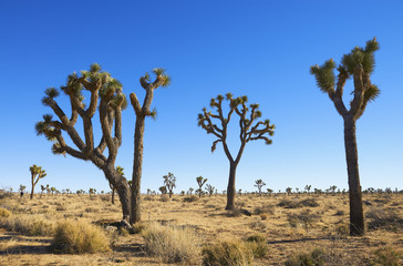 Joshua trees in Joshua Tree National Park; Joshua Tree, California, United States of America