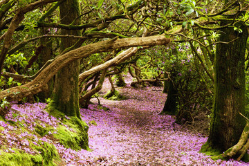 A path in a forest covered with pink flower petals, Reenagross; Kenmare, County Kerry, Ireland