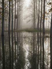 Flooded forest in spring with early morning mist; France