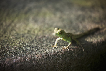 Close up of small lizard on stone surface; Frankfurt am Main, Germany