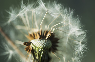 Dandelion seed head; Astoria, Oregon, United States of America