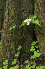A Trillium grows from the trunk of a Western Red Cedar tree; Jewell, Oregon, United S