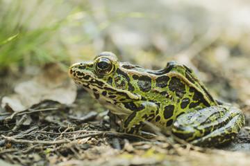 Leopard Frog; Ontario, Canada