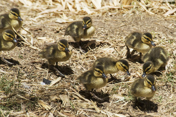 Mallard (Anas Platyrhynchos) Ducklings Walking In A Group; Phoenix, Arizona, United States Of America