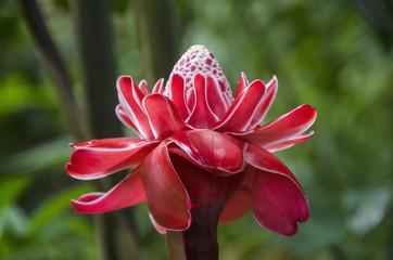 Torch Ginger Flower (Etlingera Elatior); Ocho Rios, Jamaica