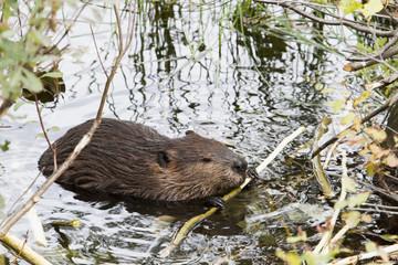 Beaver (Castor canadensis) feeding in water; Quebec, Canada