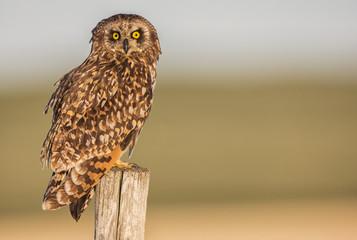 Short earred owl (Asio flammeus) sitting on a fence post; Saskatchewan, Canada