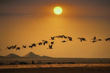 Sandhill cranes flying in sky, Arizona, USA