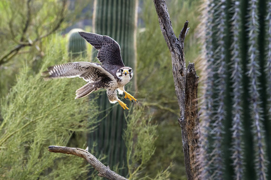 Prairie falcon flying between cactuses, Sonoran Desert, Arizona, USA